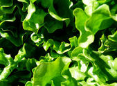 Bunch of fresh green lettuce - close up — Stockfoto