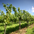 Grapevines — Stock Photo #3684322