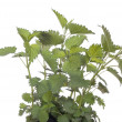 Nettle — Stock Photo #2982767