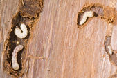 Woodworm — Stock Photo