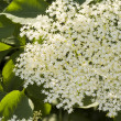 Elderberry — Stock Photo #3451745