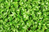 Fresh green cress close-up — Stock Photo