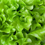 Fresh lettuce close-up — Stock Photo