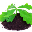 Young oak tree - Stock Photo