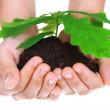 concepto de un árbol del roble joven en manos de mujer — Foto de Stock