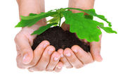 Concept of a young oak tree in woman hands — Stock Photo