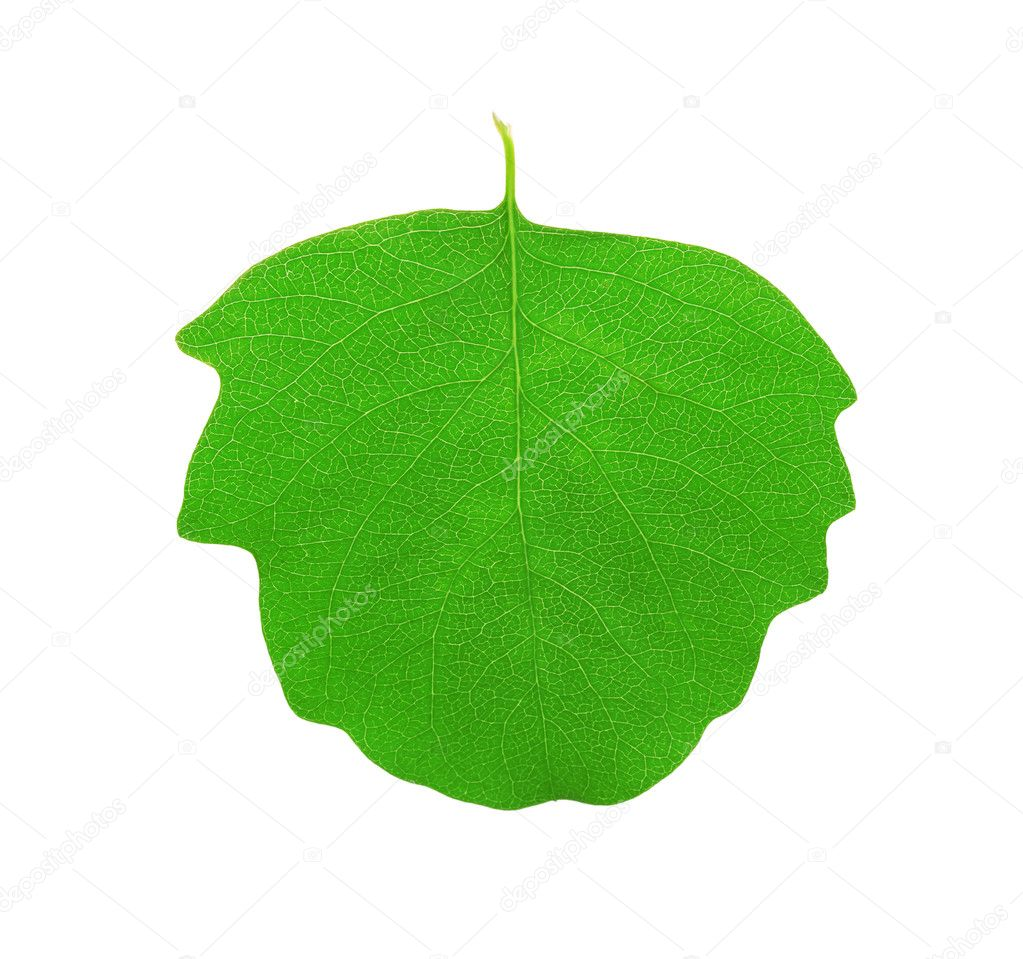 Green aspen leaf isolated on white background  Stock Photo #3380638
