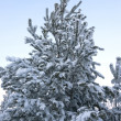 Stock Photo: Evergreen tree
