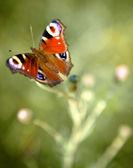 Small Tortoiseshell Butterfly. — Stock Photo