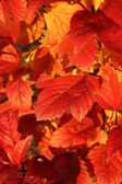 Bright Orange,Red, leaves in the Fall — Stock Photo