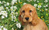 Cocker spaniel cucciolo — Foto Stock