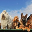 Stock Photo: Five dogs