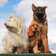 Three dogs — Stock Photo #2765972