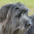 Pyrenean sheepdog — Stock Photo