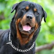 Rottweiler — Stock Photo #2770657