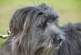 Pyrenean sheepdog — Photo