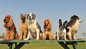 Five little dogs — Stock Photo