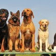 Stock Photo: Five big dogs