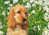 Puppy cocker spaniel — Stock Photo