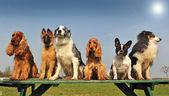 Little dogs — Stock Photo