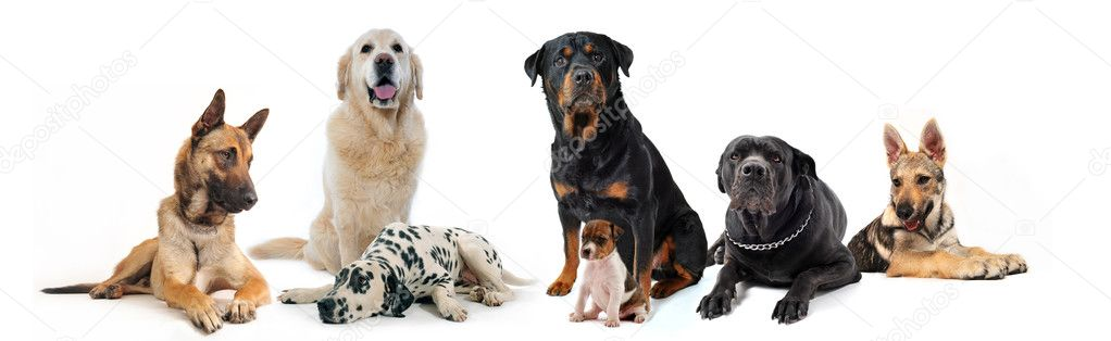 Dogs and puppies sitting and lying down on a white background — Lizenzfreies Foto #2892687
