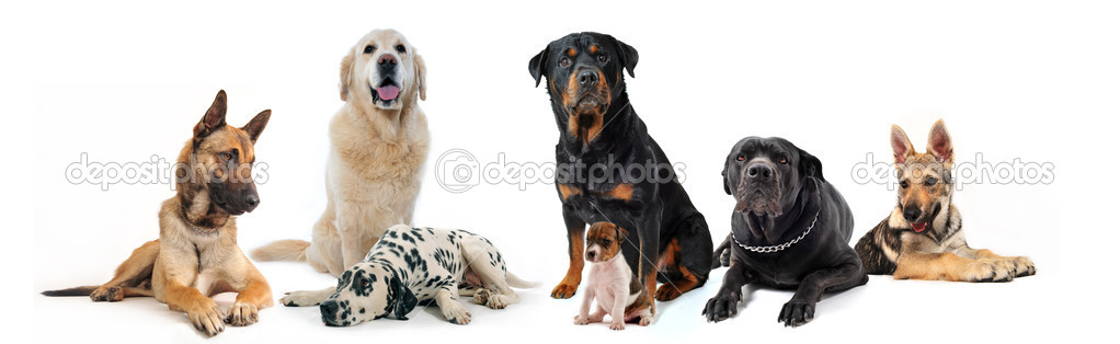 Dogs and puppies sitting and lying down on a white background  Photo #2892687