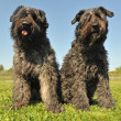 Stock Photo: Bouvier des Flandres