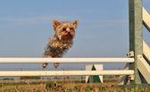 Jumping yorkshire — Stock Photo