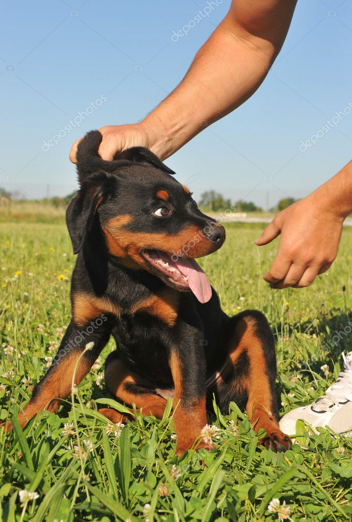 Picture of a puppy purebred rottweiler being reprimanded.  — Stock Photo #3084625