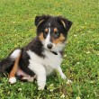 Puppy shetland dog — Stock Photo