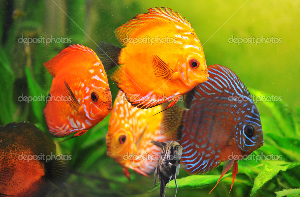 Group of a colorfull  tropical Symphysodon discus fishes in an aquarium — Stock Photo #3108971