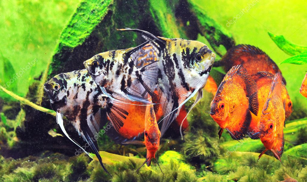 Pterophyllum scalare with a group of symphysodon discus in a tank — Stock Photo #3113489