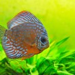 Discus — Stock Photo