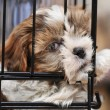 Puppy shihtzu in cage - Stock Photo