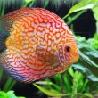 Discus - Stock Photo