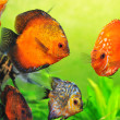 Discus in aquarium — Stock Photo