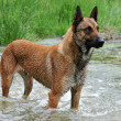 Malinois - Stock Photo