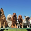 Stock Photo: Nine dogs