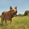 Australian cattle dog - Photo