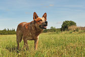 Australian cattle dog — Stock Photo
