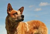 Australian cattle dog — Stock Photo