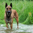 Malinois in river — Stock Photo #3330014