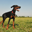 Doberman Pinscher - Foto Stock