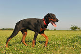 Doberman Pinscher — Foto de Stock