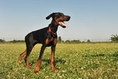Doberman Pinscher — Fotografia Stock