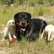 Rottweiler and puppies labrador — Foto Stock