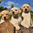 Puppies labrador retriever — Stock Photo