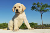 Puppy labrador retriever — Stock Photo