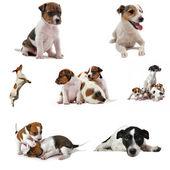 Jack russel terrier — Stock Photo