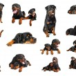Rottweiler — Stock Photo #3623238